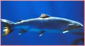 salmonCapture