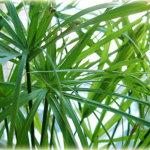 papyrus-rnc_bg