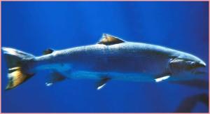 salmon_bCapture